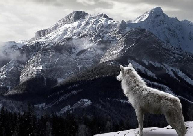 wolf club pack radio